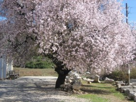 Almond at Patara