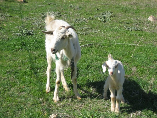 Goat and baby2